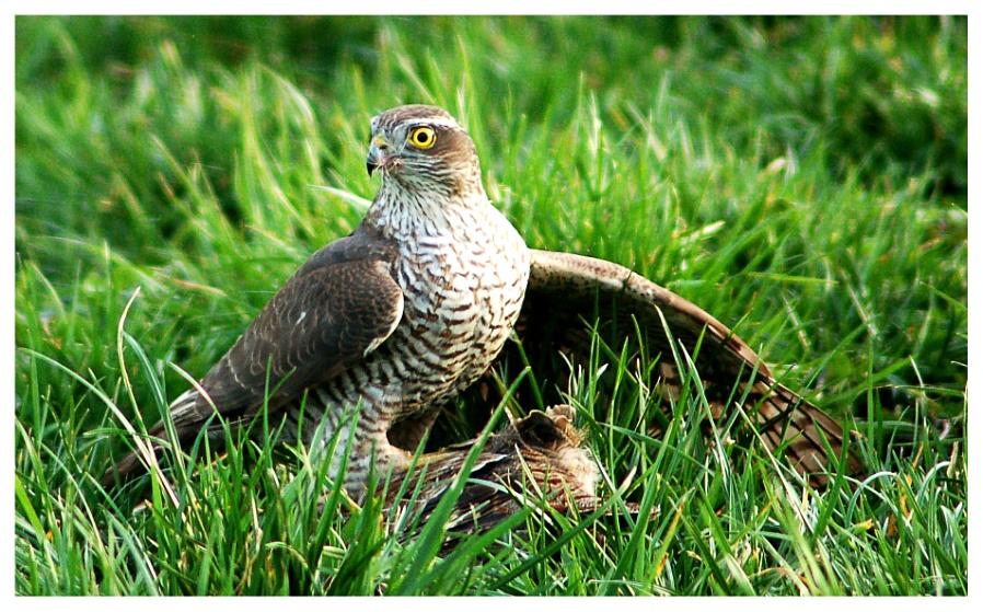 Sparrow Hawk with pray