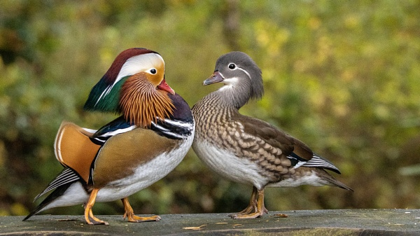 Mandarin Courtship by Knowlesie