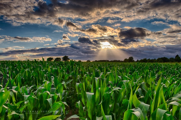 Corn Maize Sunset by Stephen_B