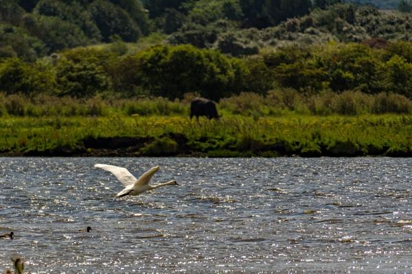 Swan in flight. by terra
