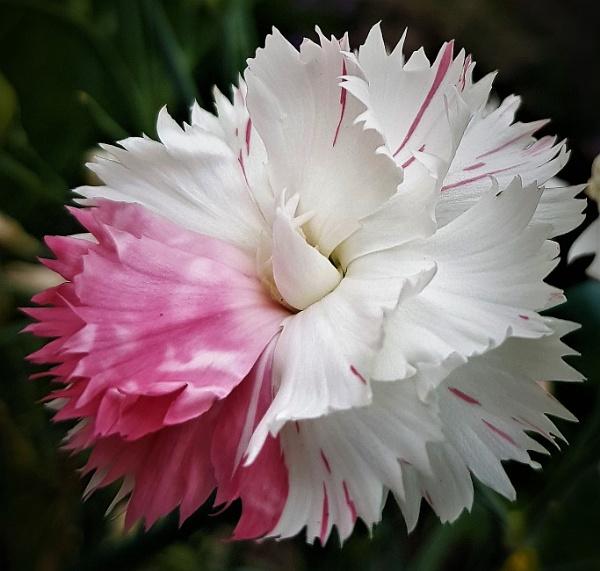 Carnation by rosej