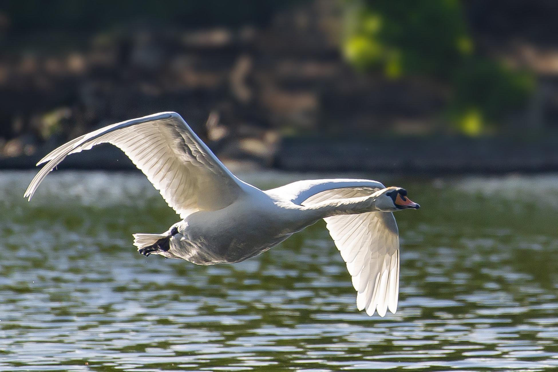 Swan Buzz By