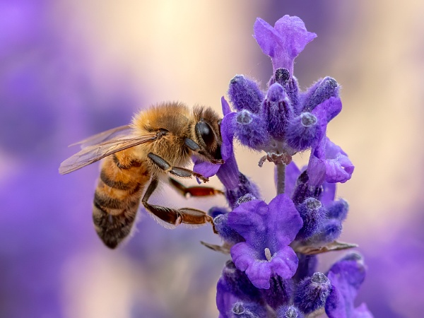 Honey Bee on Lavender by Stace