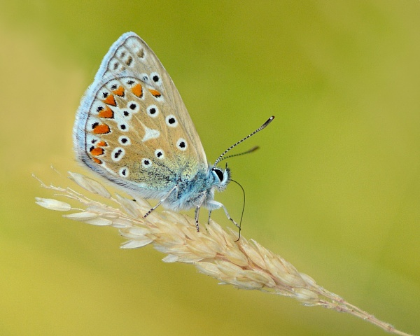 Common Blue by chalkhillblue
