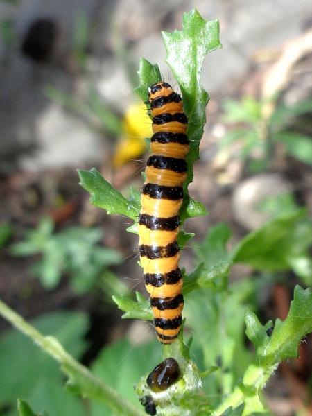 Cinnabar Moth caterpillar by TonyDy