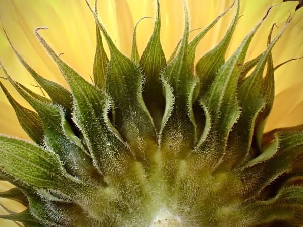 Sunflower by nclark
