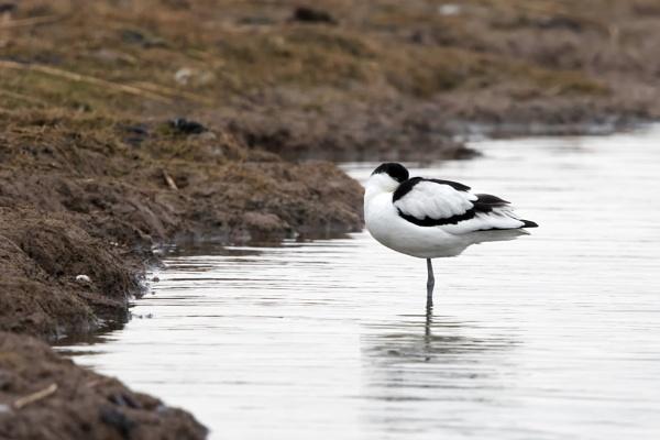 Avocet (Recurvirostra avosetta) by Ray_Seagrove
