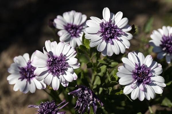 White and purple Osteospermums flowering in an English garden by Phil_Bird