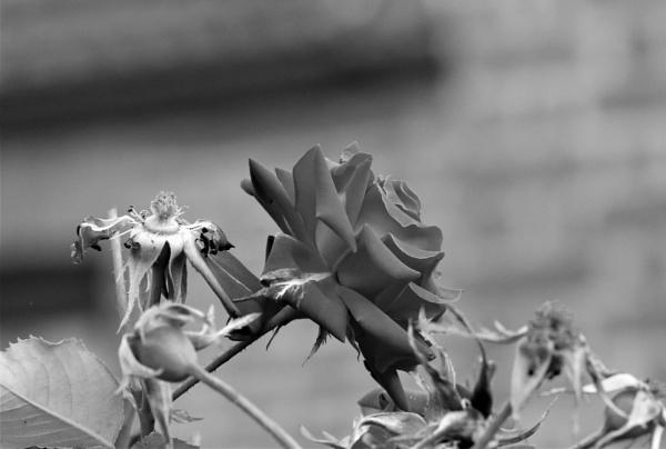 Neighbours Rose by HoneyT