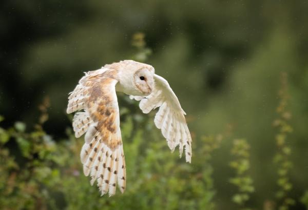 Barn Owl by jasonrwl