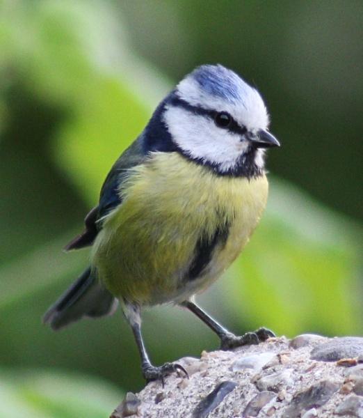Blue Tit - Cyanistes Caeruleus by peterkin