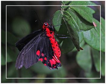 A Bat Wing Swallowtail (Agophaneura semperi)  best viewed large)