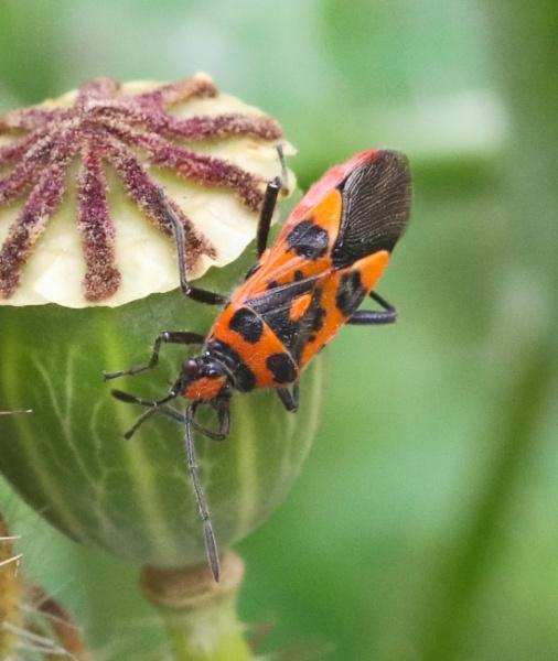 Rhopalid bug by beckybookins