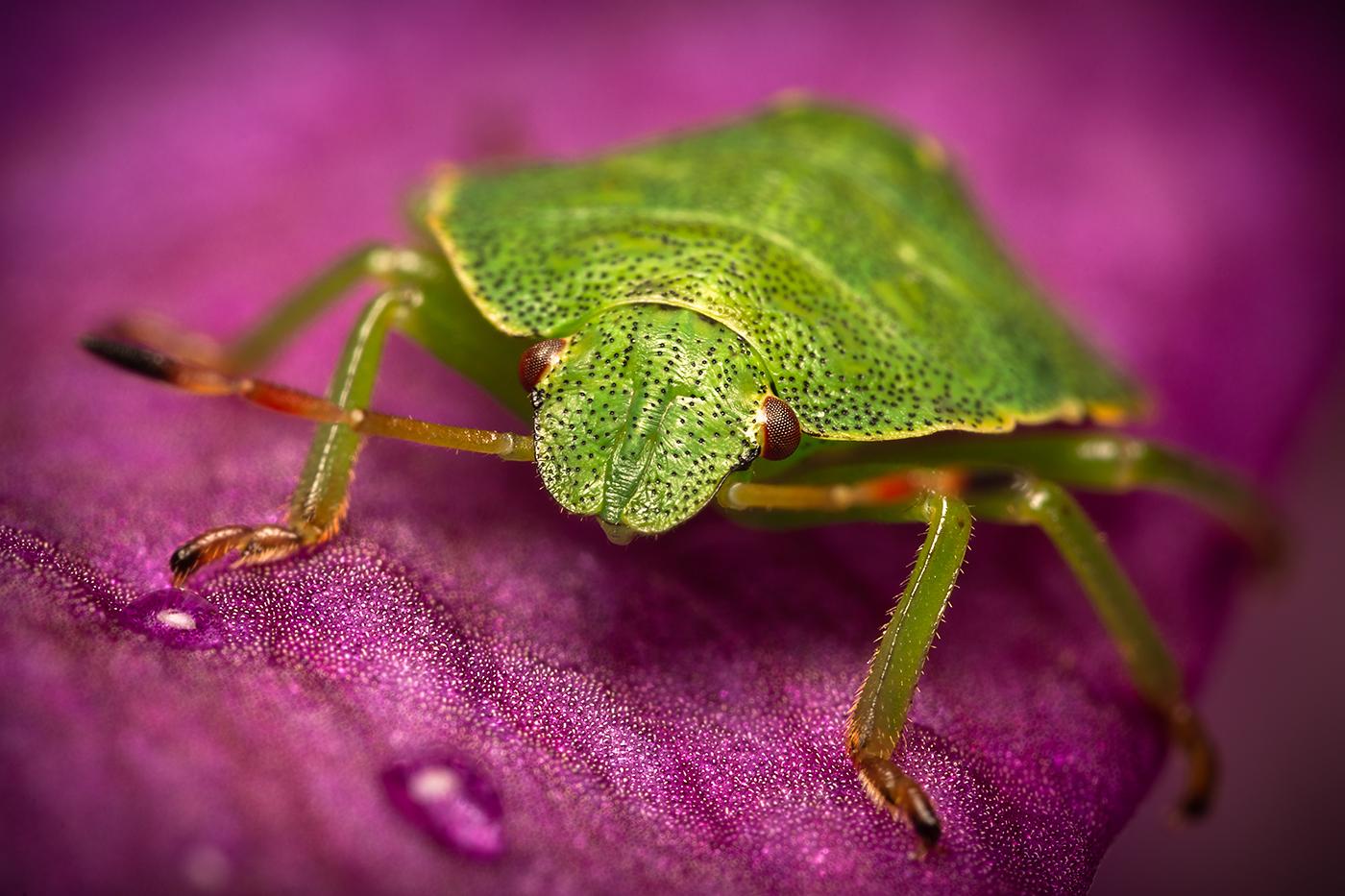Green Shield Bug Portrait