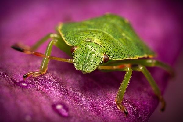 Green Shield Bug Portrait by BydoR9