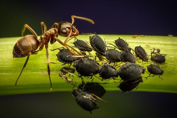 Ant Milking Aphid Larvae by BydoR9