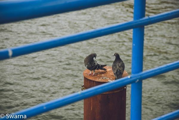 Pigeons... by Swarnadip