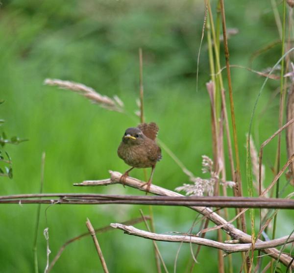 Wren fledgling - 2 by JuBarney