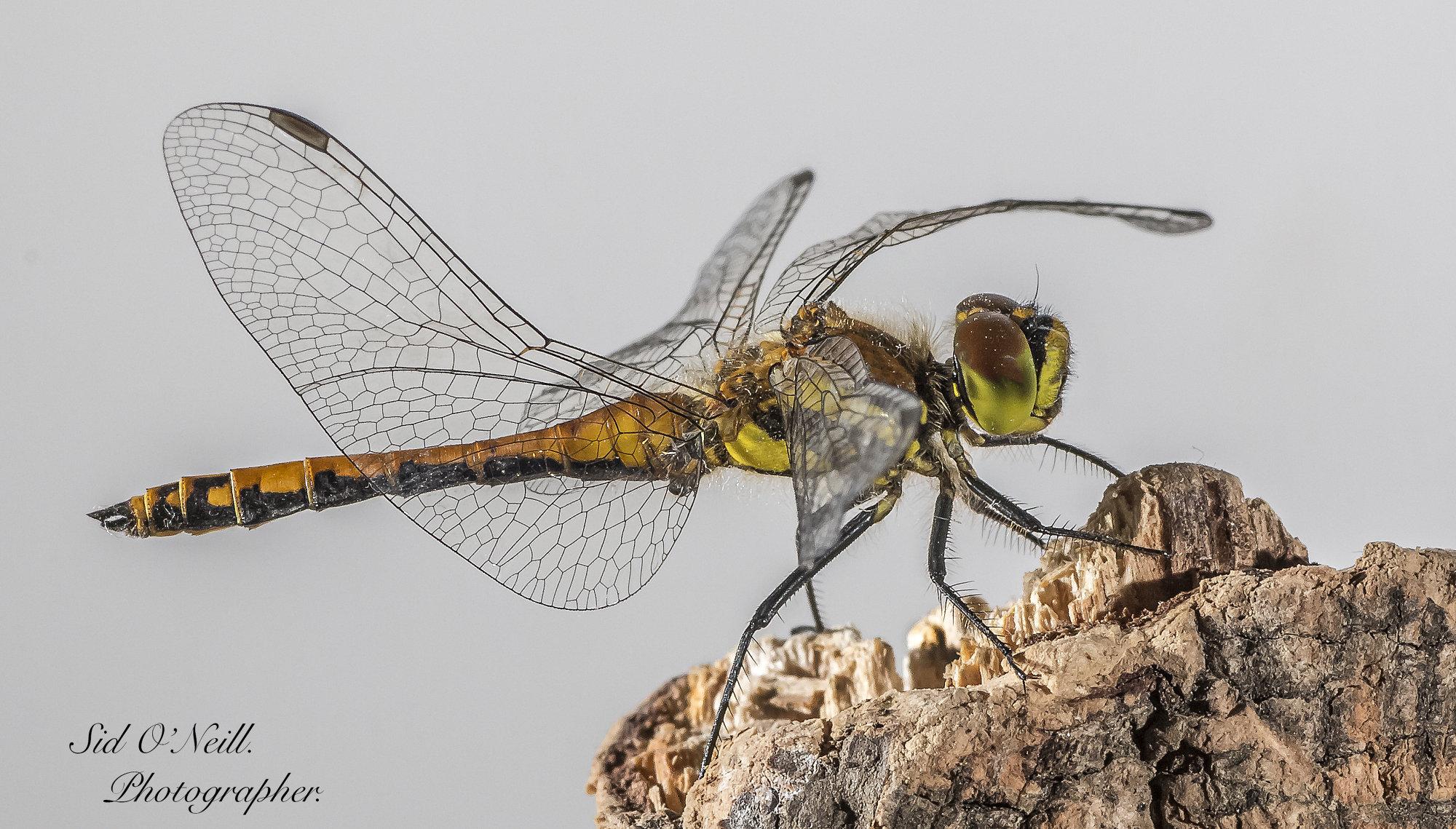 Macro shot Dragonfly.