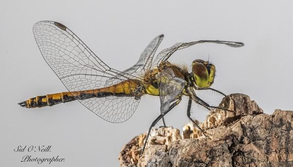 Macro shot Dragonfly. by sidnox