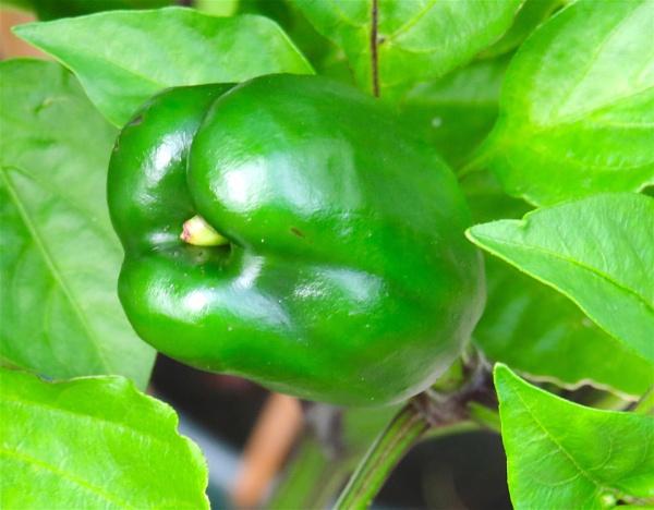 Pepper by ddolfelin