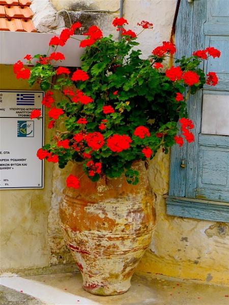 Geraniums by ddolfelin