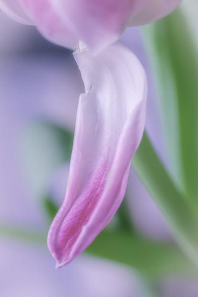 Petal by manicam