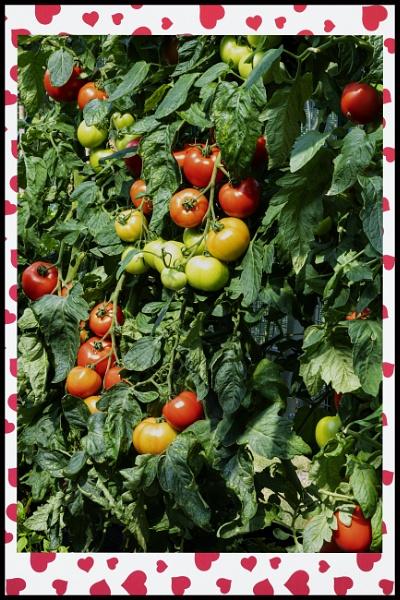 I Just Loooooove Tomato Season by tralfamadorean