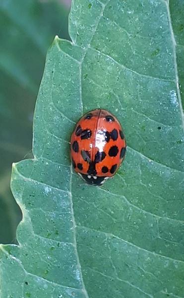 Ladybird by prin