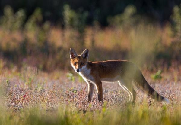 Fox by stu8fish