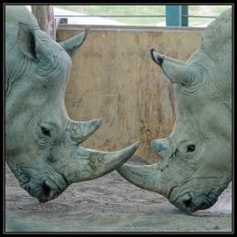 Rhinos doing stuff that Rhinos do I suppose