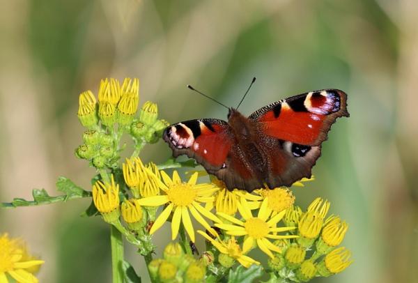 Peacock Butterfly by Steveo28