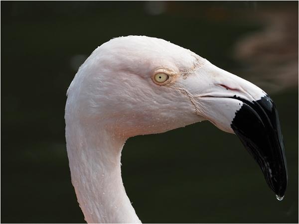 Flamingo by johnriley1uk