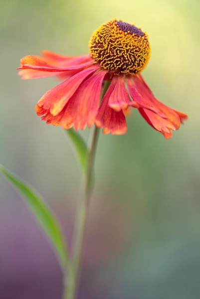 Helenium Moerheim Beauty by flowerpower59