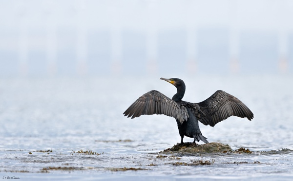 Cormorant Drying by St1nkyPete