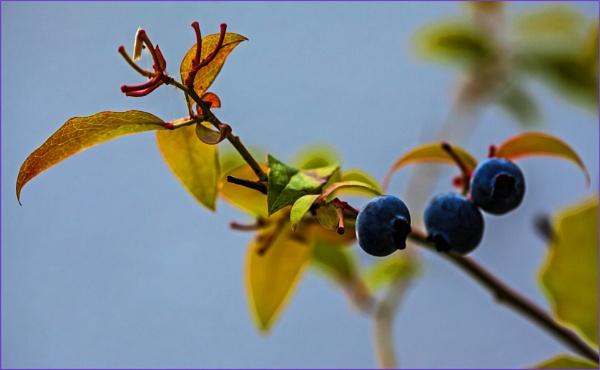 blueberry twig... by estonian