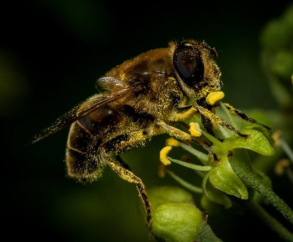 HoneyBee 8 by TornadoTys