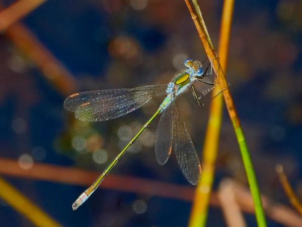 Emerald Damsel Fly by Backabit