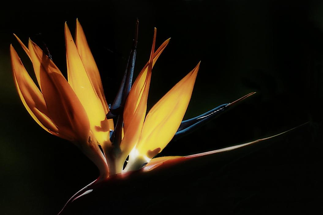The Bird Of Paradise.