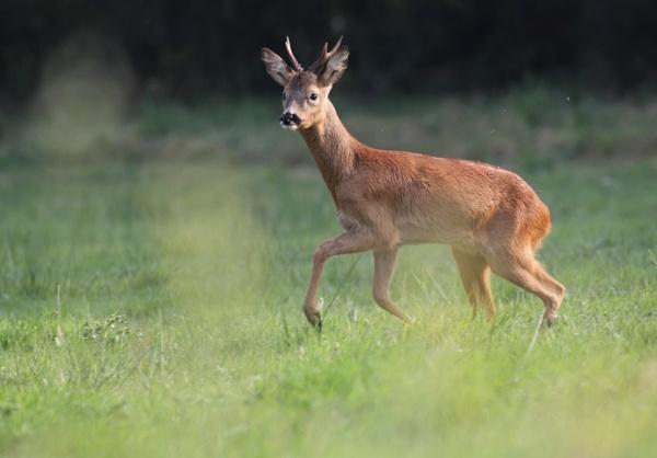 Deer by Philipwatson