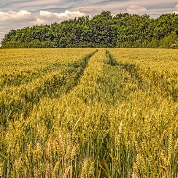 Ripening Wheat II by Bore07TM