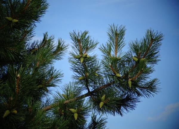 Pine twig by SauliusR