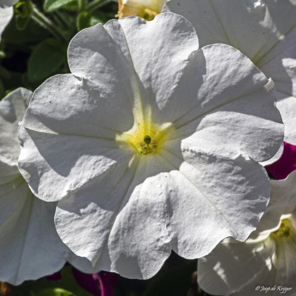 Flowers by joop_