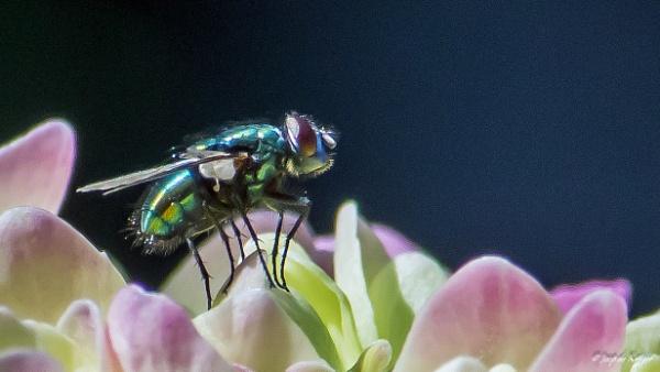 Blow fly. by joop_