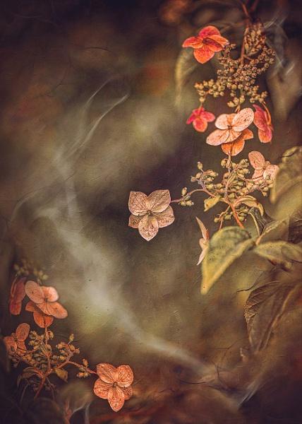 Hydrangea by KristinaZvinakeviciute