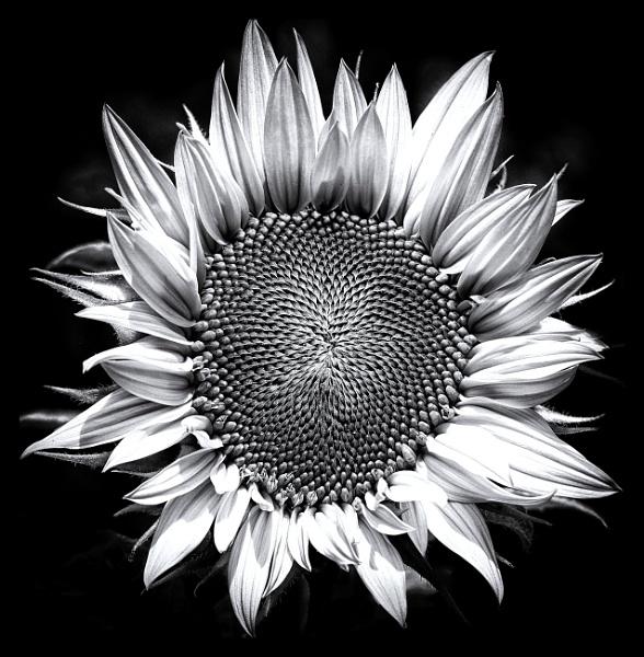 Sunflower by loves2travel