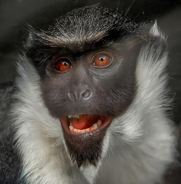 Diana Monkey by ivalyn
