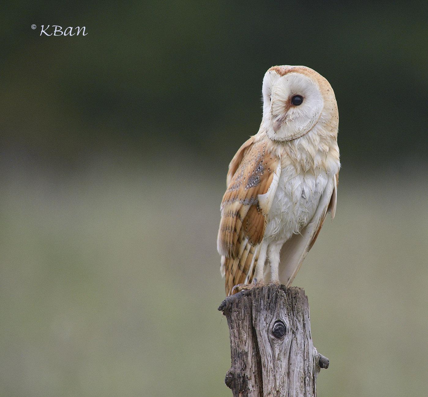Barn Owl....Wild,