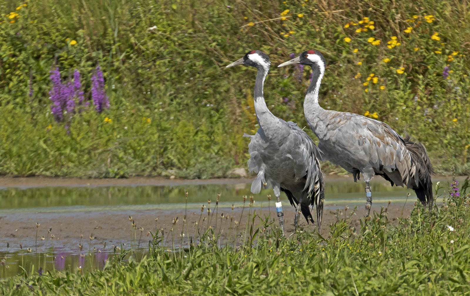 Cranes at Slimbridge WWT - Gloucestershire