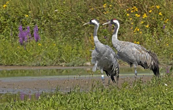 Cranes at Slimbridge WWT - Gloucestershire by VincentChristopher
